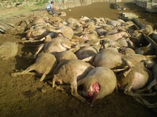 Ovejas muertas principalmente por asfixia en ataque de perros a corral