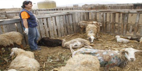 """Ataque de perros a ovejas """"protegidas"""" en un corral. Hay algunas muertas y otras heridas Sin embargo, en este caso el mayor daño se produjo por la asfixia de las ovejas al tratar de arrancar de los perros."""