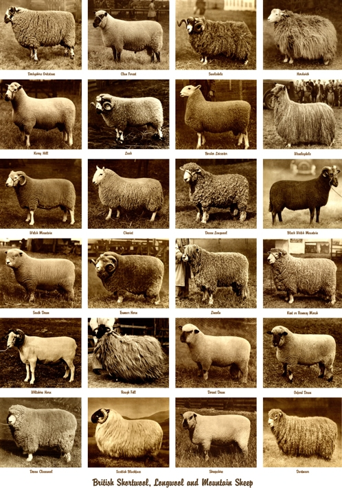 sheep-poster-1